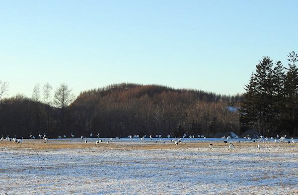 タンチョウの群れ、でも鶴居ではなく