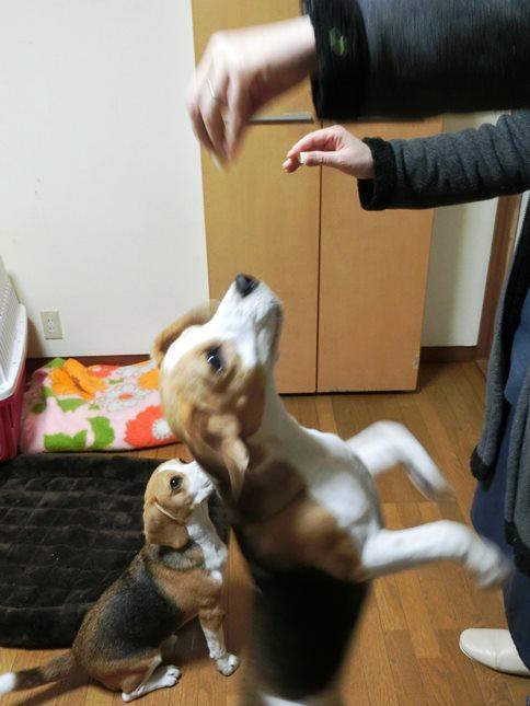 JIROのジャンプ力がグングンと伸びてきて,ちょっと心配なTAROパパです。