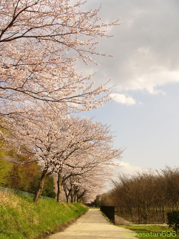 20100403_sakura_01