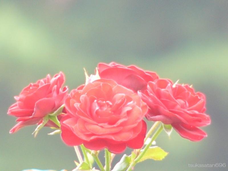 20111002_rose_01