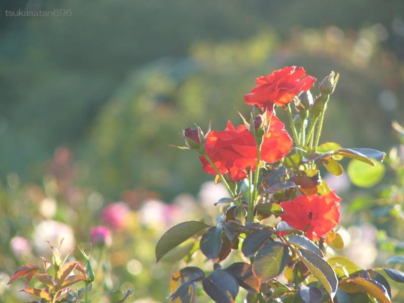 20111002_rose_02