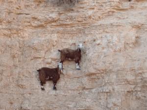 山羊 がけ2