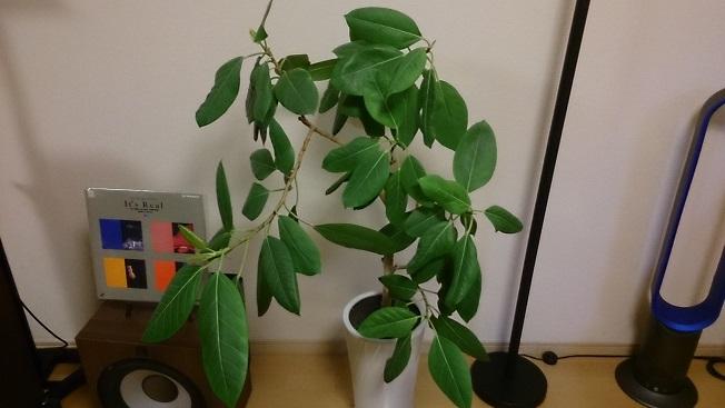 リビング観葉植物①