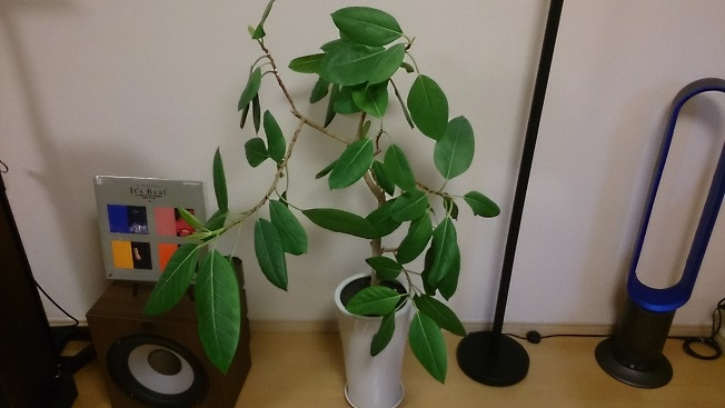 リビング観葉植物②